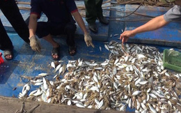 Cá biển chết bất thường ở Quảng Trị