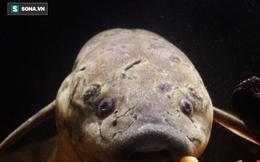 Loài cá kỳ dị vùng Nam Mỹ sống không cần nước: Bí mật nằm ở đâu?