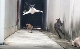 Clip: Màn thoát thân qua 3 cường địch của boss mèo tam thể gây chấn động MXH