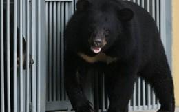 Người phụ nữ mua 'chó ngao Tây Tạng' về chăm sóc 2 năm mới biết mình nuôi nhầm con gấu