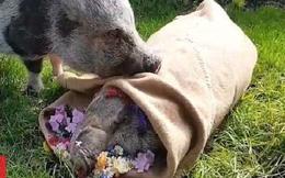 Xúc động khoảnh khắc chú lợn âu yếm thi thể bạn