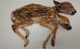 Phát hiện xác hươu hai đầu trong rừng Minnesota, Mỹ