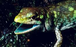 Kỳ lạ loài thằn lằn máu xanh ở New Guinea