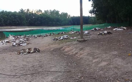 Đàn vịt hơn 1.500 con chết hàng loạt nghi bị kẻ xấu đầu độc