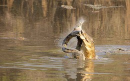 Vừa thắng trận đánh nhau, cá sấu châu Phi đã xăm xăm xé xác, ăn thịt đồng loại