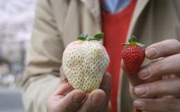 Những loại quả ngon miễn bàn nhưng giá cả siêu đắt đỏ chỉ có giới nhà giàu mới dám ăn ở Nhật Bản