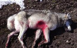 Khoảnh khắc con sói cái cuối cùng tại Đan Mạch bị bắn chết được ghi lại trong video đau lòng này