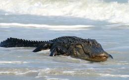 Xuất hiện cá sấu trên biển, cá voi trên sông? Quá bất thường nhưng lý do thì thật đáng mừng