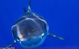 Trong một nghiên cứu mới, các chuyên gia bất ngờ thu được trải nghiệm bị cá mập trắng ăn