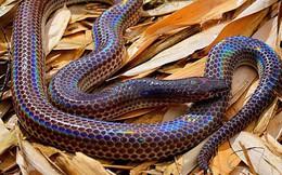 Loài rắn này cực lạ kỳ với khả năng phát ra màu sắc óng ánh dưới ánh nắng, có rất nhiều ở Việt Nam
