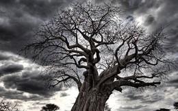 """Loài cây """"đời"""" biểu tượng ngàn năm của châu Phi đang chết hàng loạt mà không ai biết vì sao"""