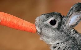 Tất cả chúng ta đã bị lừa: Thỏ không hề thích ăn cà rốt, và ăn vào sẽ phải trả giá đắt