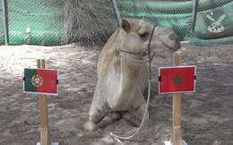 'Tiên tri' lạc đà dự đoán Bồ Đào Nha thua sốc Morocco