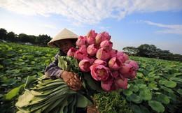 24h qua ảnh: Người phụ nữ thu hoạch hoa sen ở Việt Nam