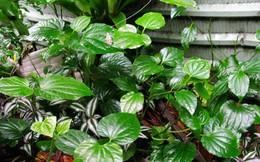 Chuyên gia Đông y tiết lộ bài thuốc chữa xương khớp rất tốt từ loại cây có nhiều ở Việt Nam