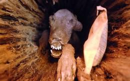 Stuckie - Chú chó săn xui xẻo vì mải mê đuổi con mồi để rồi hóa xác ướp mắc kẹt trong thân cây hơn nửa thế kỷ