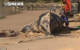Giới chức trách Úc ra lệnh di chuyển khẩn cấp xác cá voi trương phồng phòng khi thảm họa này xảy ra