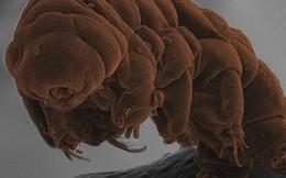 """Đây là sinh vật """"bất tử"""" duy nhất trên Trái đất và khoa học mới chỉ ra cách chúng... đi cầu"""