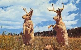 """Jackalope: Từ huyền thoại thỏ sừng nai trong truyện dân gian Mỹ đến những con thỏ """"quái vật"""" ngoài đời thực vì căn bệnh đáng sợ"""