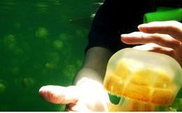 Chùm ảnh: Lặn khám phá Hồ Sứa vàng đẹp nhất hành tinh
