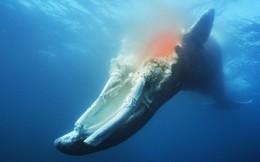 Chuyện gì xảy ra khi cá voi chết đi? Nằm lại dưới đáy biển, nó vẫn có ích đến hàng chục năm sau
