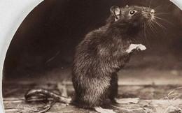 Đã từng có một vị hoàng đế Nga đem con chuột ra xét xử trước tòa và... hành hình nó trên giá treo cổ
