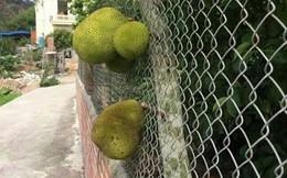 """Chết cười với những thảm họa trái cây gốc nhà mình, quả lại mời hàng xóm xơi khiến khổ chủ phải đóng vai """"người phán xử"""""""