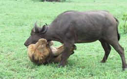 """""""Trêu ngươi"""" sư tử, trâu rừng trả giá bằng tính mạng"""