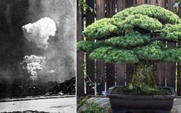 Câu chuyện của cây bonsai Nhật Bản 400 tuổi vẫn sống sót sau khi bom nguyên tử thả xuống Hiroshima