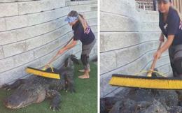 Việc nhẹ lương chắc chắn không thấp: Gãi lưng thư giãn cho cá sấu