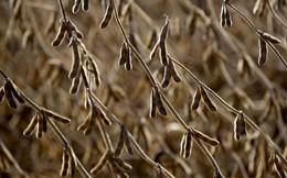 Trung Quốc có thể thuê đất ở vùng Viễn Đông của Nga để trồng đậu tương