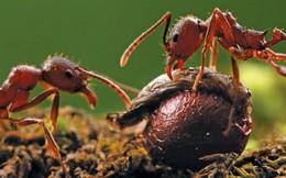 Nếu có ai bảo bạn lười, hãy kể cho họ nghe câu chuyện của loài kiến lửa