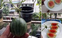 Chăm bẵm từng ngày chờ trái dưa trồng trên ban công đến ngày thu hoạch, ai ngờ hiện thực quá đỗi phũ phàng