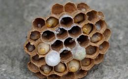 Săn nhộng ong nguy hiểm nhất thế giới, thu nửa triệu một kg