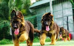 Hoảng hồn hai chó bécgiê cắn nhau, quay sang cắn chết chủ nhà