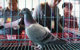 Góc khôn vặt: Chú chim vô địch giải đua bồ câu bị phát hiện đi tàu cao tốc chứ không hề bay tí nào