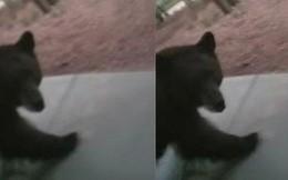 Suýt bị gấu vồ vì tưởng đó là chó