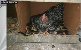 Cảnh tượng khó tin: Gà ngủ chung với rắn