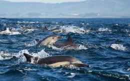 Video: Choáng ngợp hàng nghìn con cá heo cùng nhau đi săn mồi