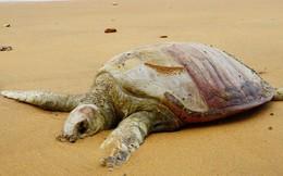 Khoa học Mỹ phát báo động khẩn: Hơn 60% loài rùa trên hành tinh sắp bị tuyệt chủng