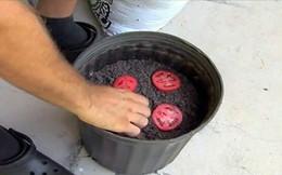 Cà chua chín nẫu đừng vứt đi, hãy thái lát bỏ vào chậu đất, bạn sẽ có cà chua ăn thoải mái