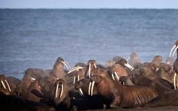 Mỗi năm lại có hàng chục nghìn con hải mã mắc kẹt trên bãi biển Alaska - lý do là gì?