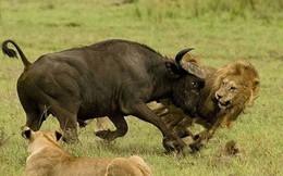 Trâu rừng liều mạng tấn công sư tử giải cứu đồng loại - kịch tính đến phút chót