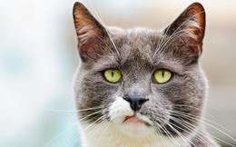 Tại sao lũ mèo luôn tỏ ra khinh thường loài người? Nếu bạn nghĩ như vậy thì hơi oan cho chúng