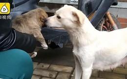 Khoảnh khắc cảm động: Chó mẹ hôn tạm biệt đứa con sắp được nhận nuôi khiến cư dân mạng không khỏi ngậm ngùi