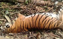 Một trong những con hổ hiếm nhất thế giới đã thiệt mạng, nhưng đó là hậu quả của nghịch lý mà con người chưa thể giải quyết