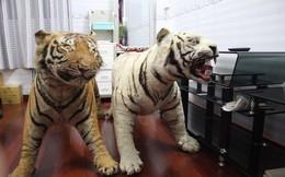 Khởi tố, bắt tạm giam người đàn ông tàng trữ 2 bộ da hổ quý hiếm