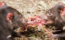 Cùng là thú có túi nhưng loài vật sau đây lại hung hăng, khát máu hơn hẳn Kangaroo