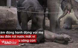 Cảm động hành động voi mẹ đau đớn rơi nước mắt vì không thể cứu sống con