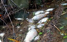 Quảng Ngãi: Xuất hiện cá chết hàng loạt trên sông Bàu Giang